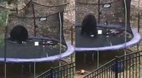 Un ours s'éclate sur un trampoline