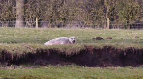 phoque est égaré dans un champ