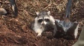 Un pauvre raton laveur coincé sous les débris