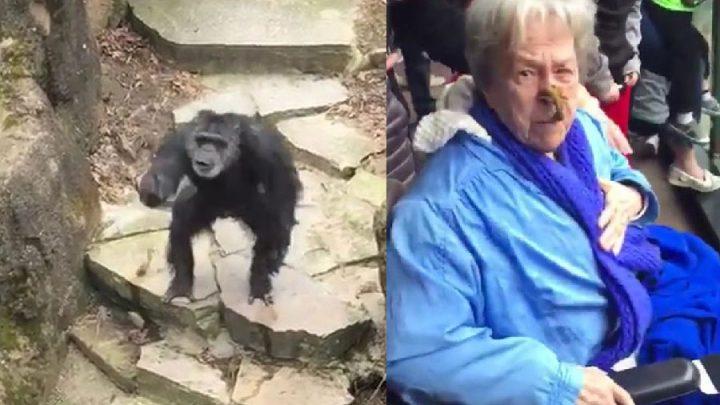 chimpanzé lance une crotte