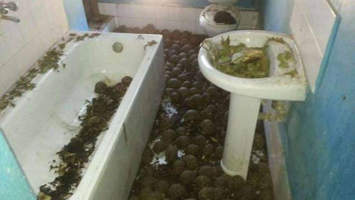 tortues étoilées de madagascar enfermées