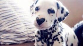 wiley dalmatien nez coeur