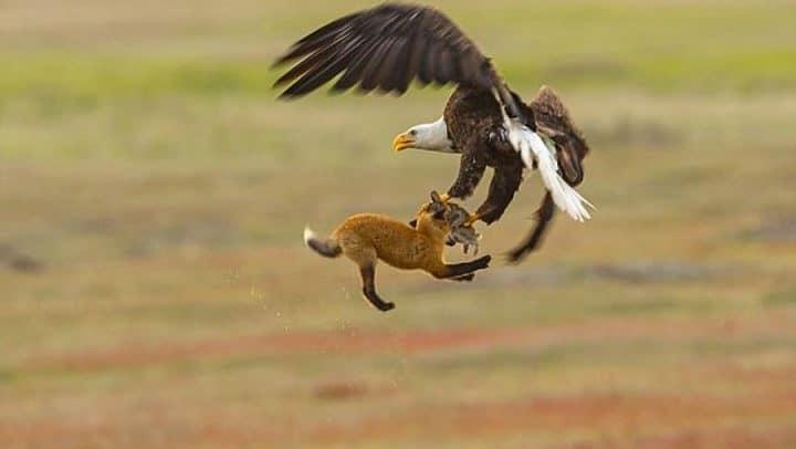 aigle attrape un lapin renard se débattent