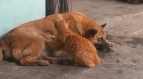 chat, chien, chat et chien, complicité animaux, chat masse chien, massage, Vietnam