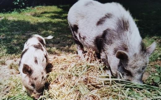 Quand ce cochon va découvrir que son meilleur ami est mort, sa réaction va vous mettre les larmes aux yeux