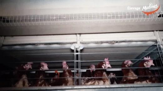 la marque leader des oeufs Matines épinglée par L.214 pour maltraitante animale