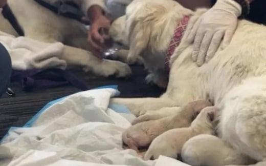 Une labrador donne naissance à huit chiots en plein milieu d'un aéroport