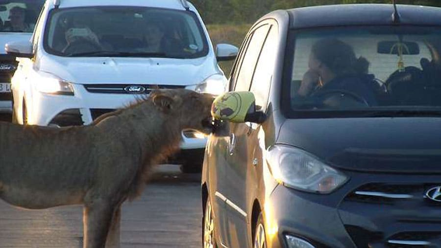 un lion tente d 39 ouvrir la porti re d 39 une voiture de touristes en tirant avec ses dents. Black Bedroom Furniture Sets. Home Design Ideas