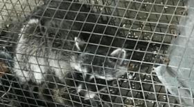 ratons laveurs, enseignant, élèves, lycée, opossum, noyés, ratons laveurs noyés