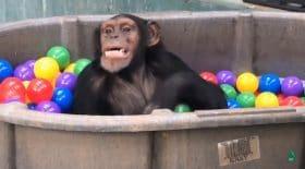 ces singes ont été sauvés d'un Laos et sont les plus heureux du monde