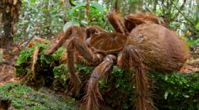 araignée, araignée géante, araignée la plus grosse au monde, animaux, dangereux, animaux dangereux, venin, Amérique du Sud