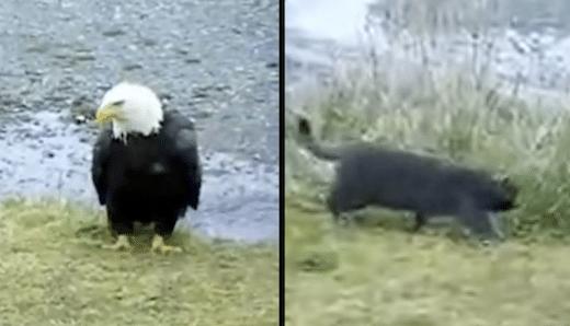 Această pisică atacă un vultur prea puternic pentru el'en prend à un aigle trop fort pour lui