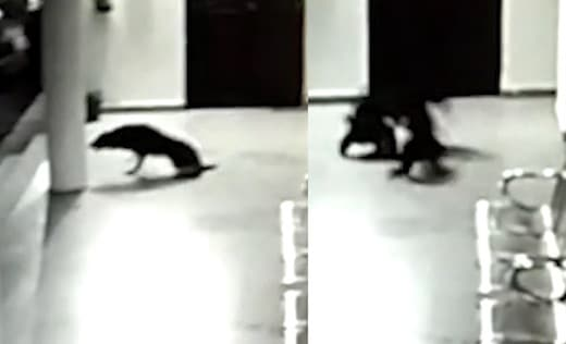 Une chienne défend son chiot face à un léopard
