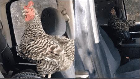 Une poule tente de fuir la chaleur