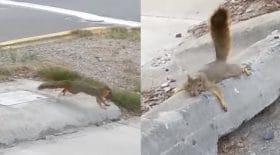 Cette maman écureuil fait ce qu'elle peut pour sauver ses bébés