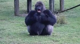 gorille langue des signes