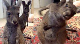 kangourou pet évacuer odeur