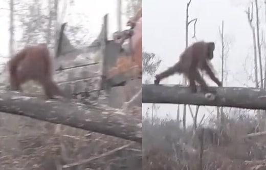 cet orang-outan se précipite su un bulldozer qui détruit son habitat naturel