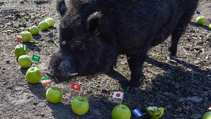 coupe du monde cochon medium
