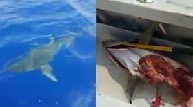 un requin dévore un thon de 60 kgs !