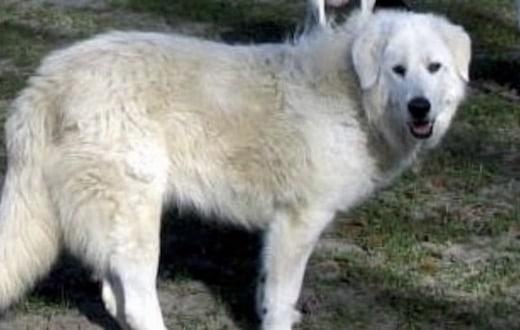 Ce chien meurt tragiquement en tentant de sauver la vie de son maitre