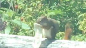 écureuil mange intérieur préservatif usagé