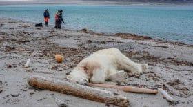 L'ours polaire a été abattu