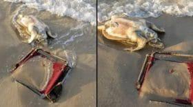 cette tortue a une chaise de plage coincée autour de son cou