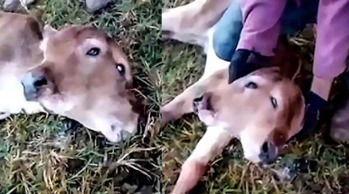 naissance d'un veau à deux têtes
