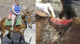 ânes blessés touristes obèses mulets