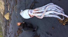 calamar géant échoué sur la plage