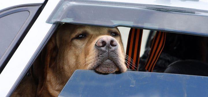 Canicule : peut-on briser une vitre de voiture pour sauver un animal ?