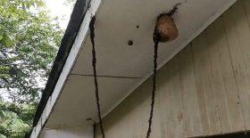 fourmis légionnaires pont vivant