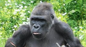 Gorille doigt d'honneur