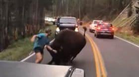 homme nargue bison