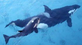 J35,l'orque , a laissé partir son défunt veau
