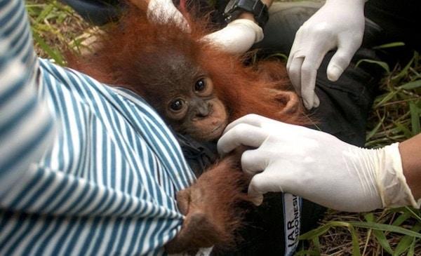 sauvetage d'un bébé orang-outan