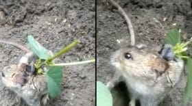 pousse soja dos souris rat