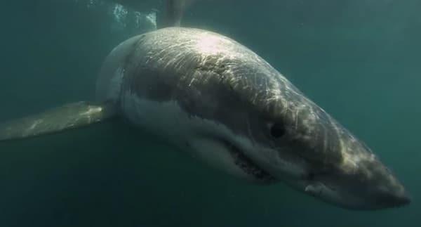 Un requin de cinq mètres de long