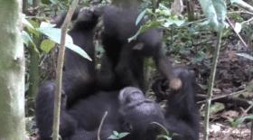 Une chimpanzé joue à faire l'avion avec un bébé ! VIDEO