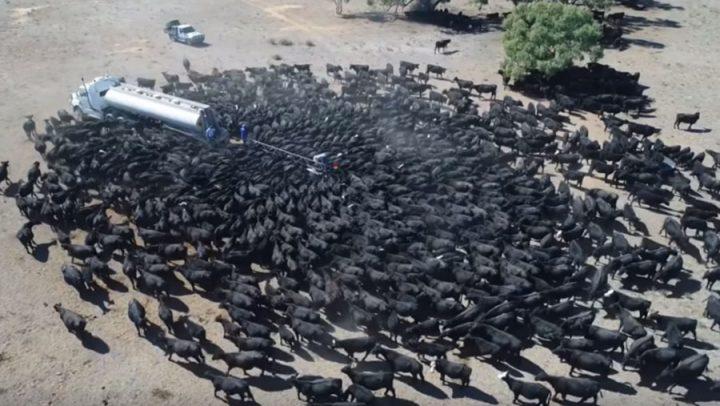 vache camion-citerne eau sécheresse Australie