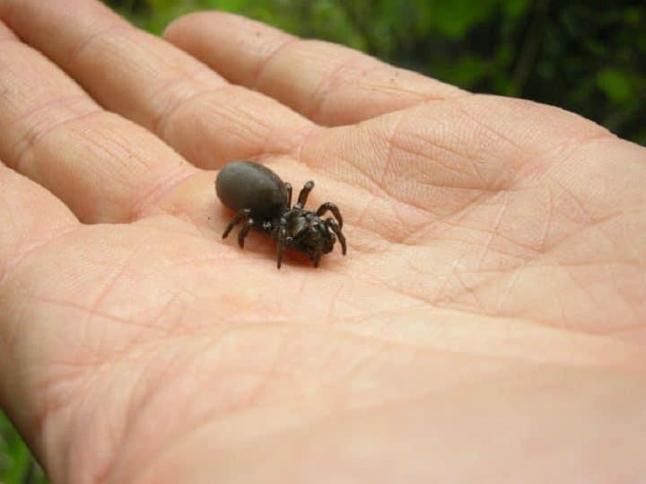 Atypus-affinis-mygale-commune-brive-gaillarde-invasion