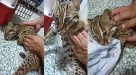 chat-léopard policier massage cardiaque