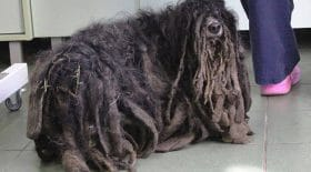 maltraitance animale chien dreadlocks