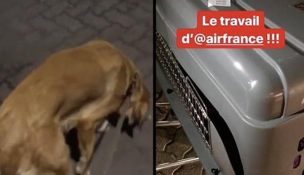 chienne maltraitée par air France