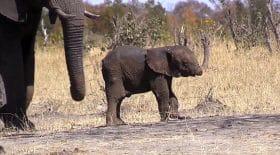 éléphanteau sans trompe parc national kruger