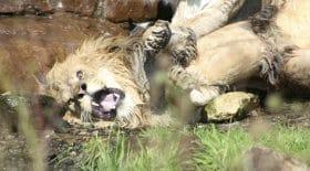 Un lion se fait agresser par des lionnes