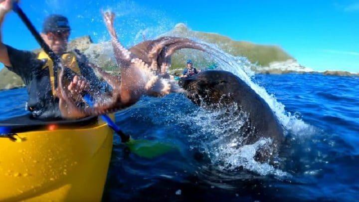 otarie-nouvelle-zelande-gopro-buzz-mer-kayakiste-gifle-poulpe