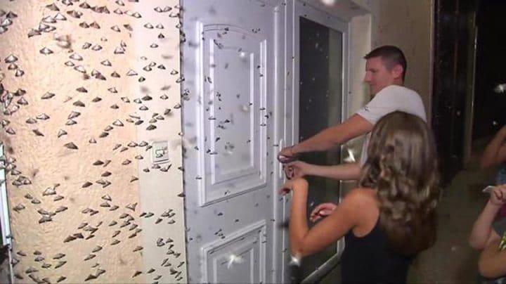invasion de papillons de nuit pyrale du buis