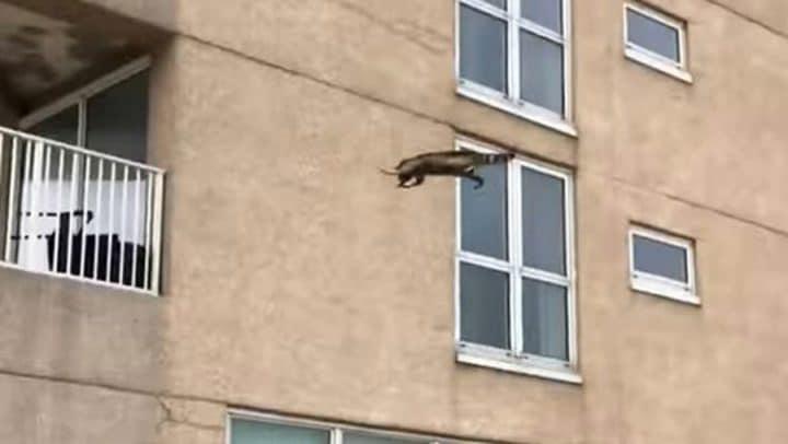 raton-laveur bâtiment chute